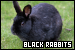 Rabbits: Black