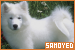 Dogs: Samoyed